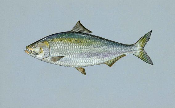 American shad fish