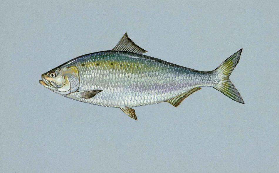 Amerikaanse elft (American shad fish) van Fish and Wildlife