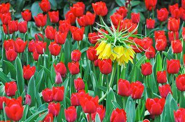 Zee van bloesems, tulpen en keizerlijke kronen van Katrin May