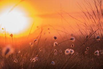 Katoengras in het tegenlicht van de ochtend van Kurt Krause