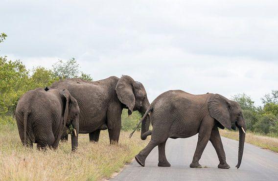 group elephant in kruger park
