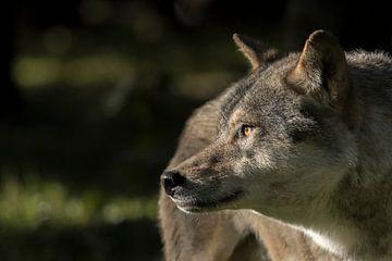 Wolf eyes 2 van Etienne BRUNELLE