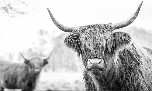 2 Schotse Hooglanders op de Jiltdijksheide (zwart/wit)