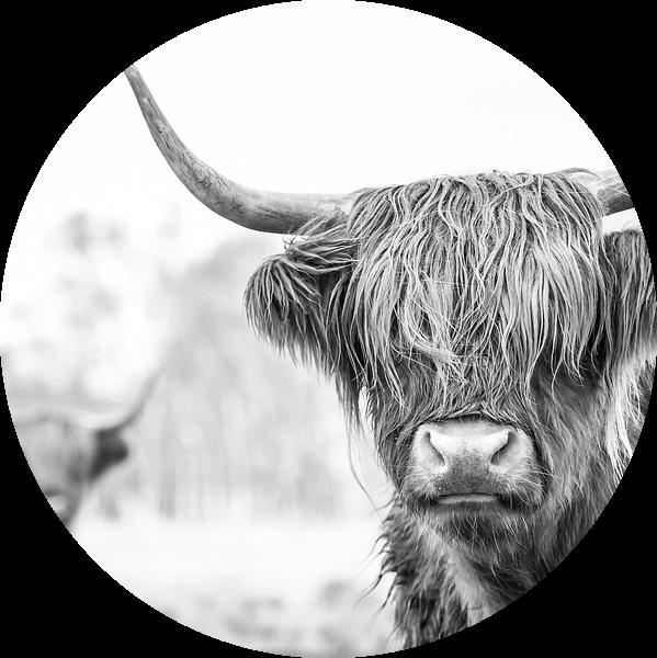 2 Schotse Hooglanders op de Jiltdijksheide (zwart/wit) van Martijn van Dellen