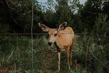 Hert, Colorado Springs, Amerika van Nienke Hartog