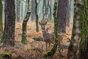 Reebok in alerte houding in de Nederlandse bossen van Maarten Oerlemans
