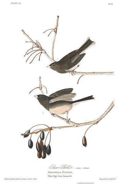 Sneeuwvogel van Birds of America