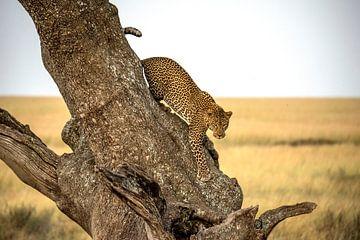 Leopard - Serengheti, Tanzania, Giuseppe DAmico van 1x