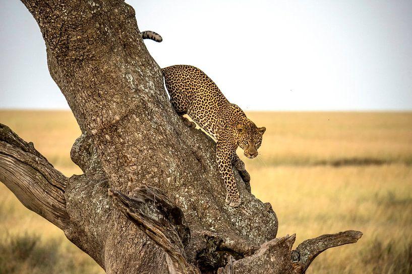 Leopard - Serengheti, Tansania, Giuseppe DAmico von 1x