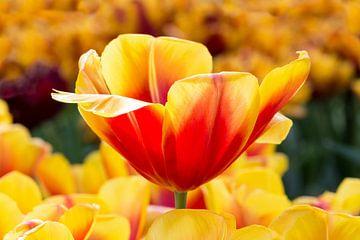 Rot mit gelben Tulpe für Blumenfeld in Keukenhof Holland von Ben Schonewille