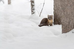 Pine Marten ( Martes americana ) in winter, sitting on the ground of a forest in deep snow, Yellowst