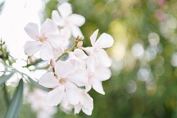 Witte Oleander | Elba Island | Italië | Bloem | Botanisch van Mirjam Broekhof