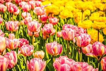 Kleurrijk veld tulpen van Stedom Fotografie