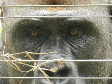Zilverrug Gorilla van Els Royackers