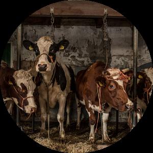 Koeien in oude koeienstal van Inge Jansen