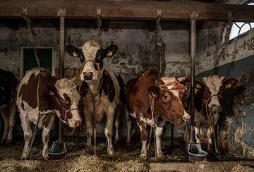 Kühe im alten Kuhstall sur Inge Jansen