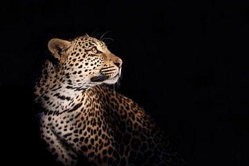 Porträt eines Leoparden (Panthera pardus) vor schwarzem Hintergrund von Nature in Stock