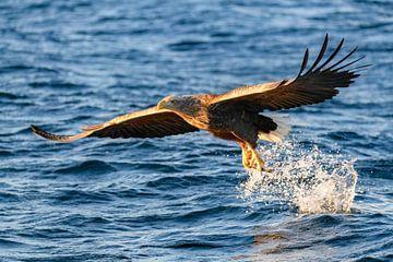 Seeadler fangend einen Fisch in einem Fjord von Sjoerd van der Wal