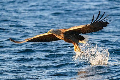 Vissende Zeearend met een vis in zijn klauwen