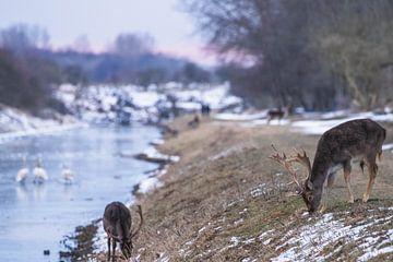 Damherten met gewei in de sneeuw van Anne Zwagers