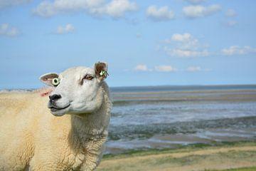 Texels schaap op dijk van Mandy M