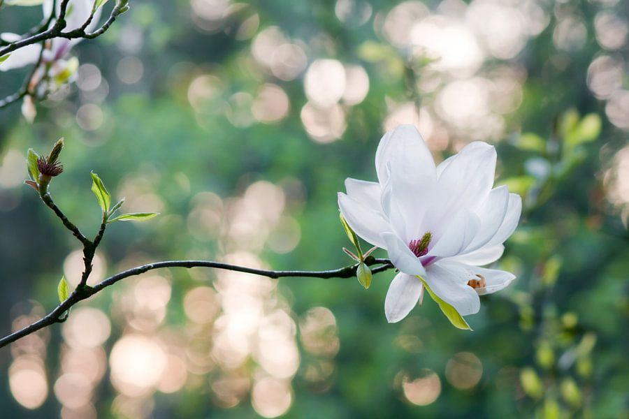 Beverboom (Magnolia soulangeana) van Tamara Witjes