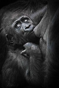 Babygorilla zuigt gulzig melk uit moeders borst en kijkt bezorgd achterom, donkere achtergrond van Michael Semenov