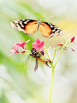 Vlinderliefde van Alexander Koenders