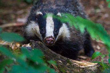 badger badger sur Marcel Derweduwen