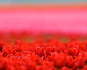 Une photo atmosphérique des champs de bulbes de tulipes dans le polder. sur Louis en Astrid Drent Fotografie