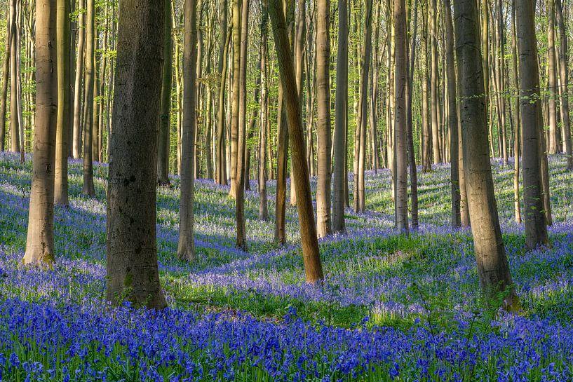 Spring in the Hallerbos Belgium van Michael Valjak
