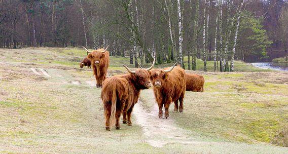 groep Schotse hooglanders in de natuur