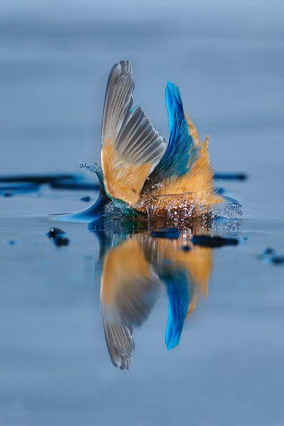 Martin-pêcheur - éclaboussure sur IJsvogels.nl - Corné van Oosterhout