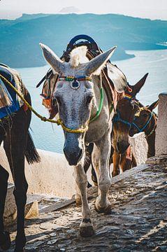 Esel auf der griechischen Insel Santorin von Daphne Groeneveld