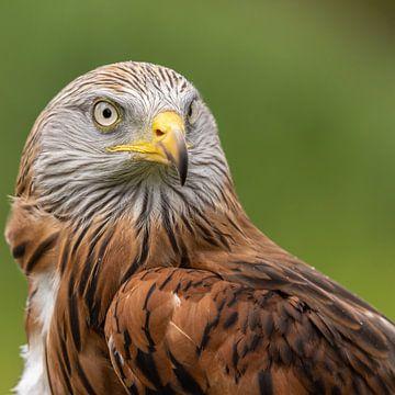 Rotmilan, Milvus milvus. Raubvogel von Gert Hilbink