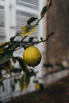 Zitronenbaum mit Tau von Vandaag is nu