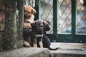 Colombiaanse puppy's