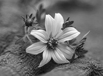 Makro Blume schwarz und weiß von Martine Moens