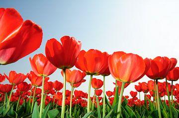 Rode Tulpen Holland van