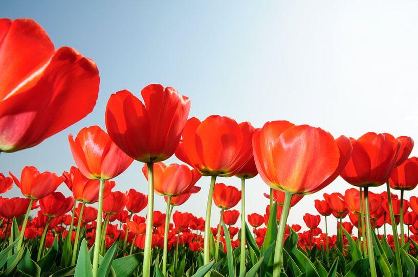 Rode Tulpen Holland van Roelof Foppen