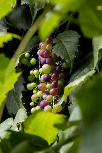 wijndruiven aan wijnrank Frankrijk