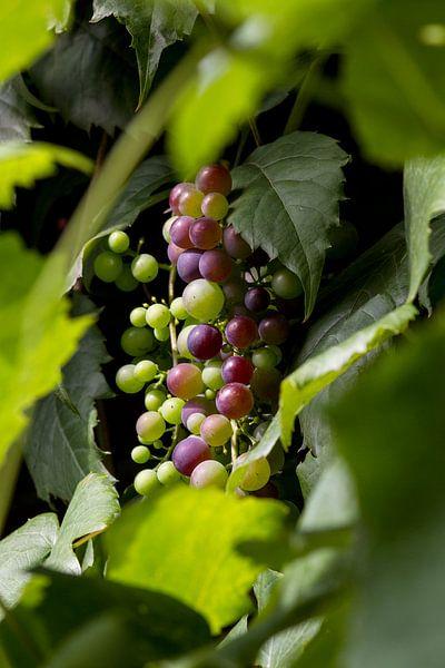 wijndruiven aan wijnrank Frankrijk van Margriet Hulsker