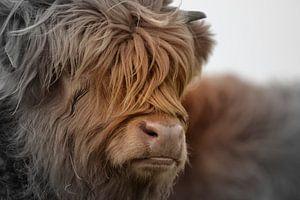 Schotse hooglander portret 2 kleurig van