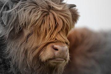 Schotse hooglander portret 2 kleurig van Sascha van Dam