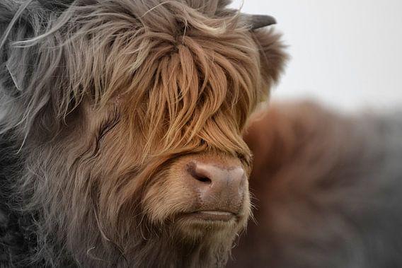Schotse hooglander portret 2 kleurig