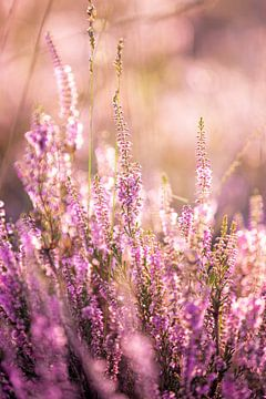 Bloeiende paarse heide tijdens zonsopkomst van