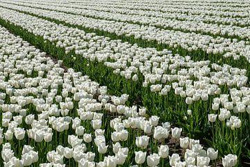 Tulpenfeld mit weißen Tulpen. von Albert Beukhof