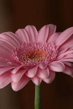 Gerba, bloem,  van Wilma Meurs