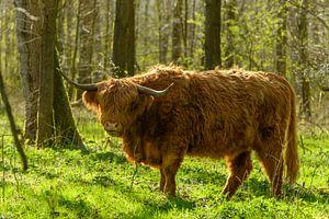 Schotse Hooglander tussen de bomen van het Harderbos