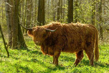 Schottischer Highlander zwischen den Bäumen des Harderbos von Gerry van Roosmalen